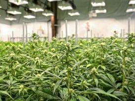 marihuana valencia