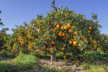 crisis naranjas valencianas
