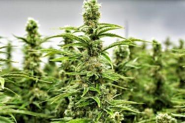 cannabis legal valencia